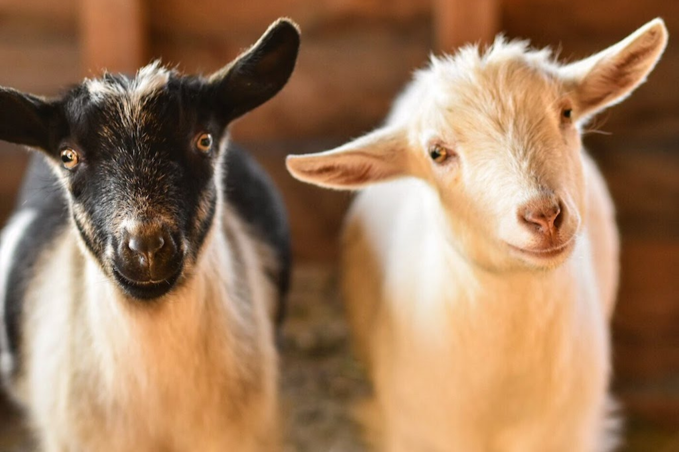 A photo of two baby goats filling the frame in the photo composition.