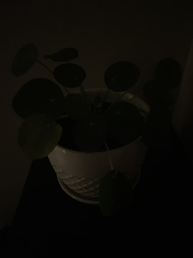 Picture of money plant using iOS' Portrait mode in low light.