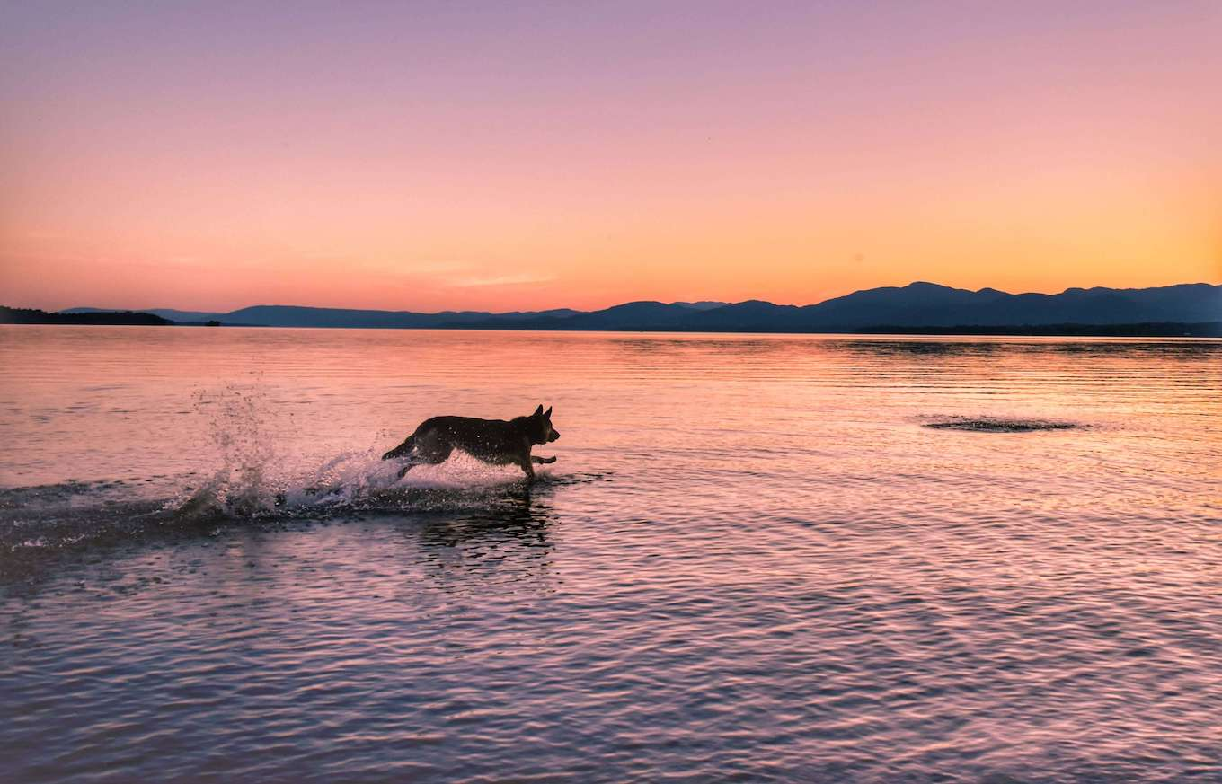A photo of a dog running through a lake at sunset to demonstrate burst mode for pet photography.