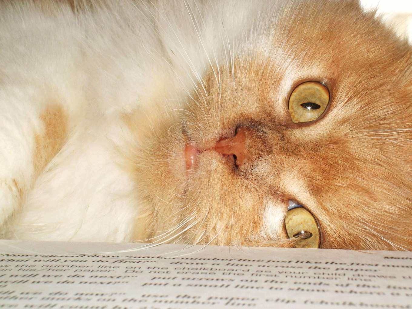 A close-up of an orange and white cat to demonstrate fill the frame in pet photography.