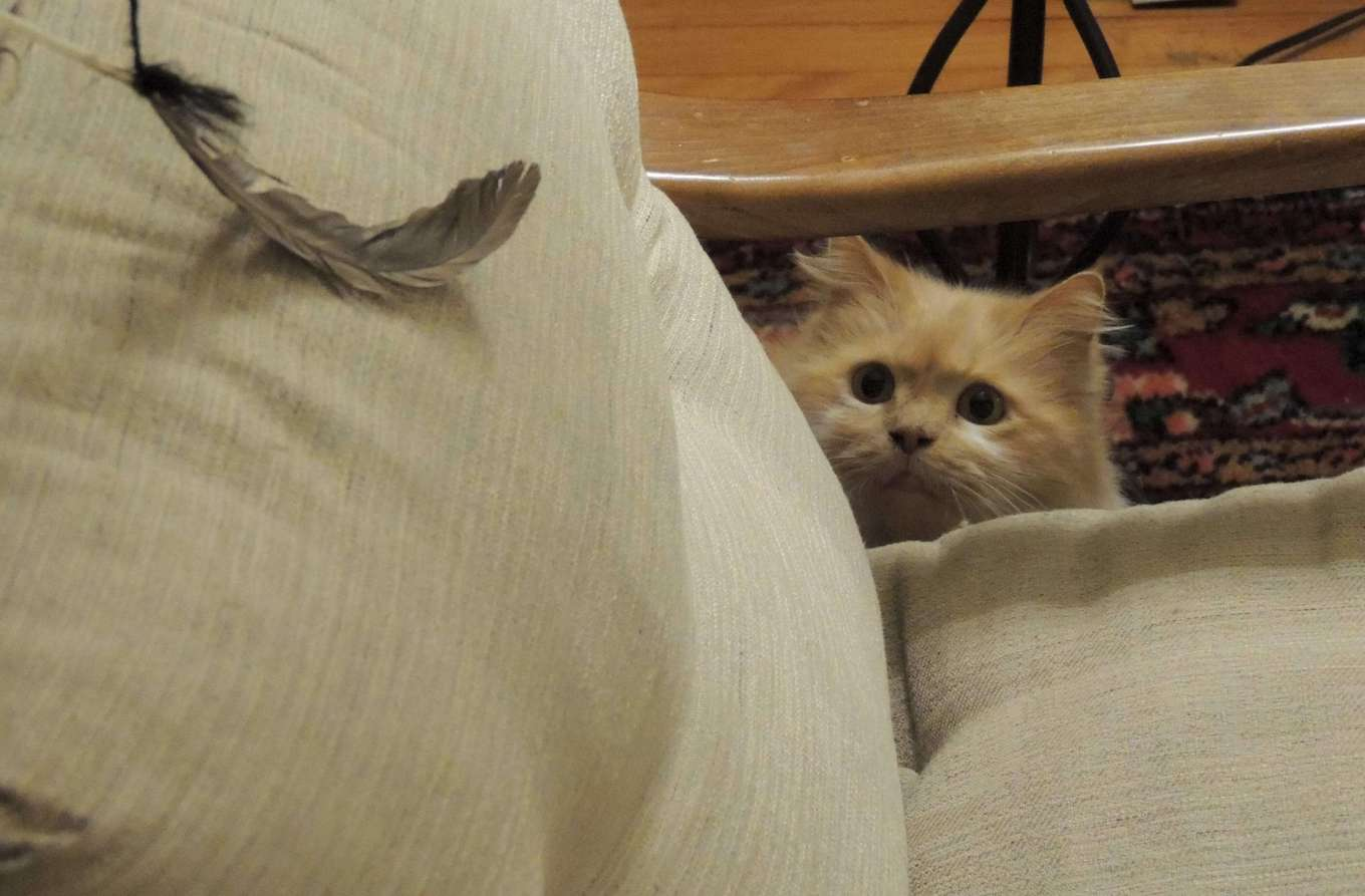 A pet photo of a cat staring at a feather, ready to pounce.
