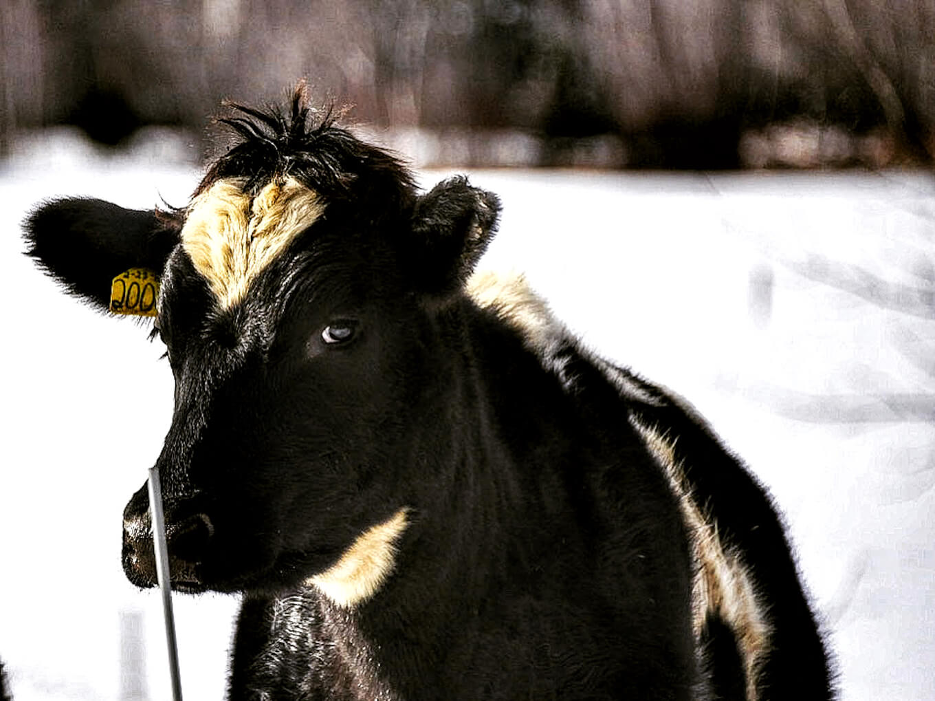 A black and white cow against a white backdrop to demonstrate high contrast photography.