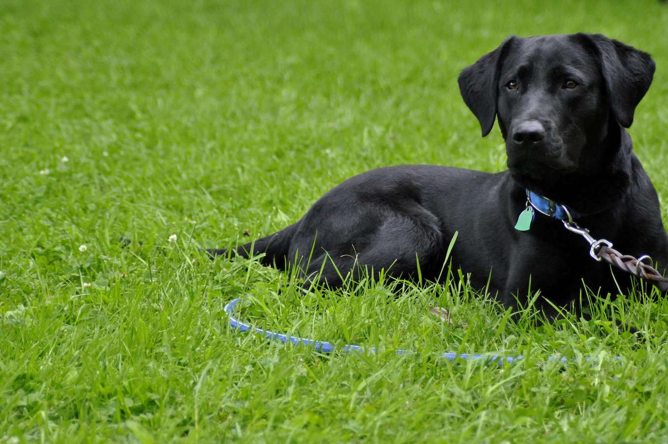 A photo of a black dog surrounded by green grass to demonstrate using a simple background in pet photography.